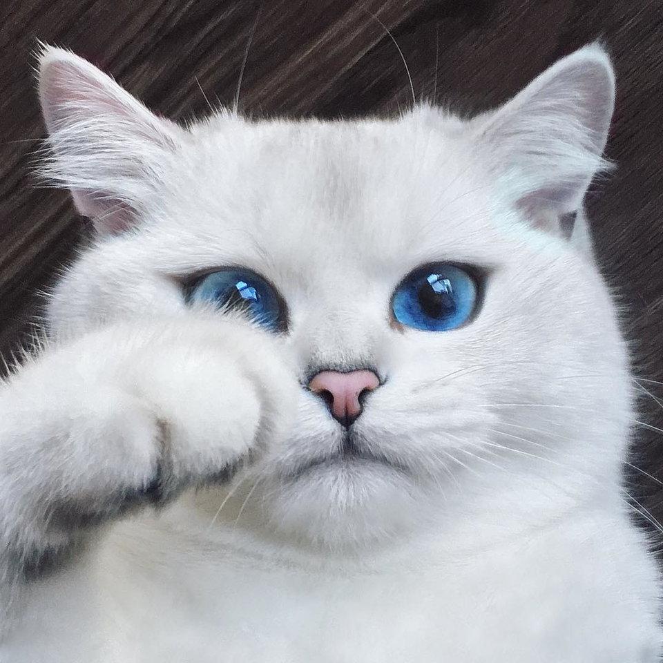Najpiękniejszy kot świata ma juz MILION followersów na Instagramie!
