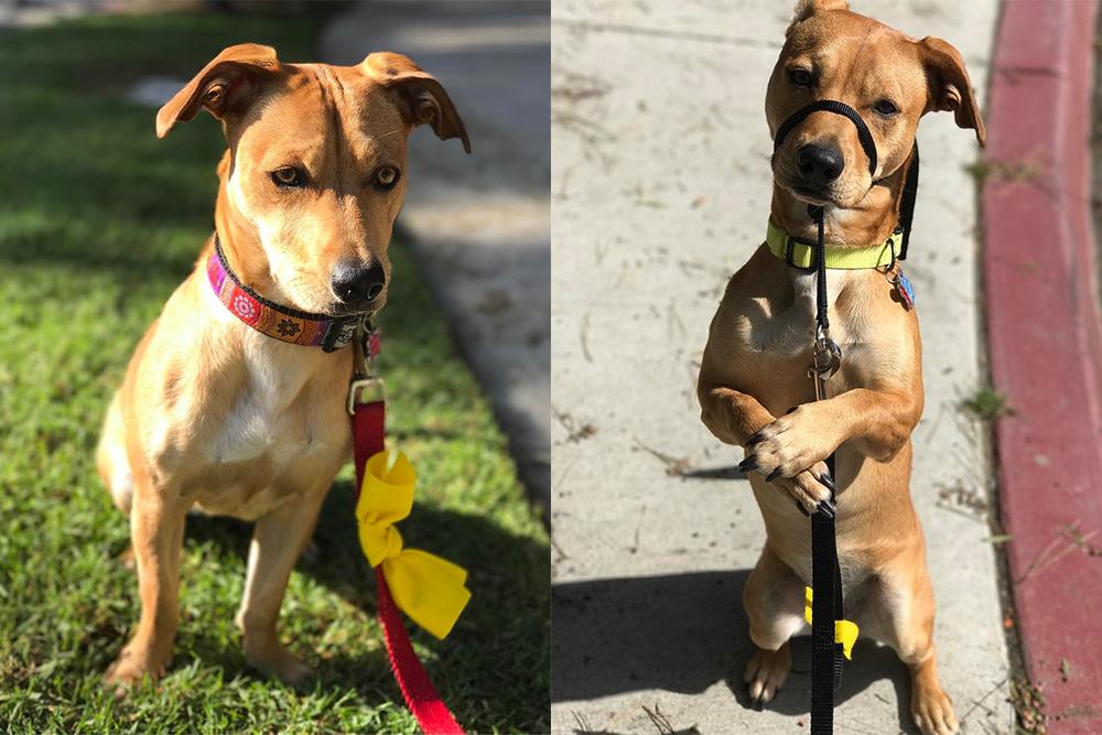 Jak zachować się, gdy zobaczysz psa z żółtą kokardą lub smyczą?