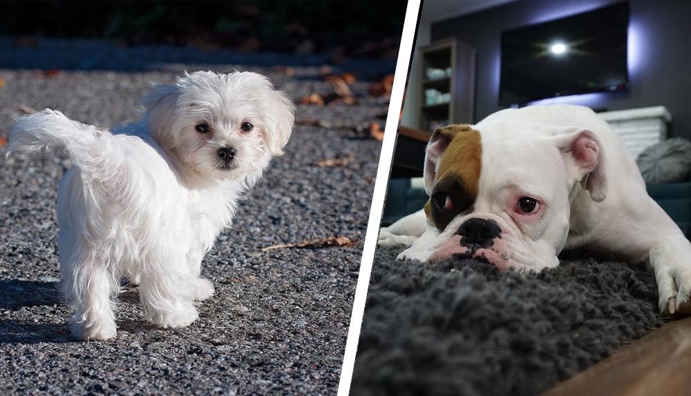 Poznaj 5 ras psów do mieszkania. Czym się kierować przy wyborze?