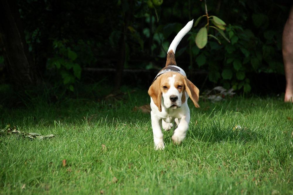 randki beagle
