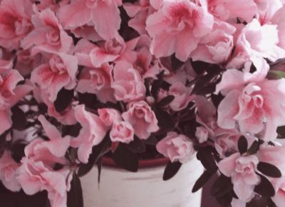 Azalia - najpiękniejszy kwiat tego roku