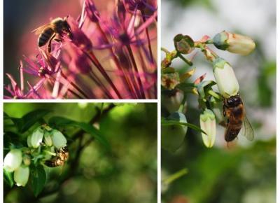 GALERIA: Podglądając pszczoły.  -  Ada Zet