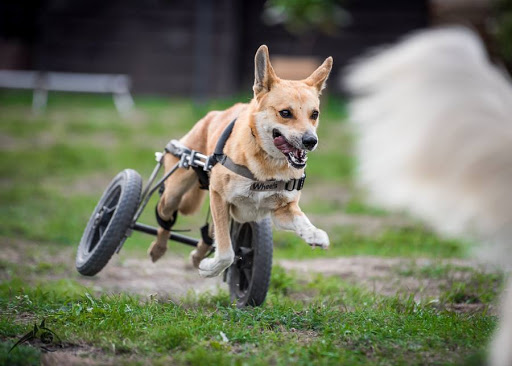 Organizacja pomagająca niepełnosprawnym psom