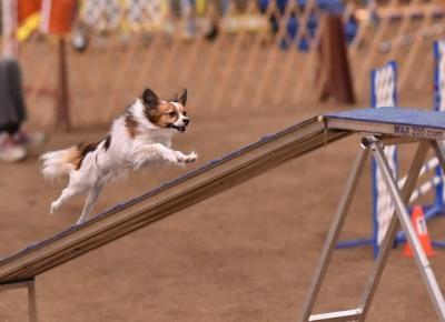 Psie sporty: agility