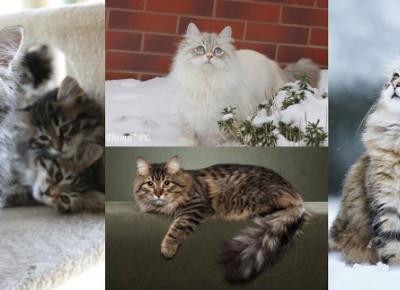 Moje trzy ulubione rasy kotów