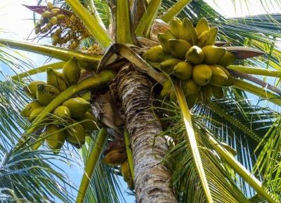 Naturalny energetyk - woda z wnętrza kokosa