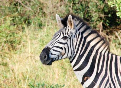 Ciekawostki o zebrach!