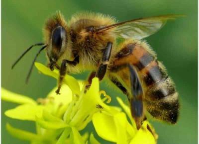 Pszczołom grozi wyginięcie. Jak im pomóc? Dlaczego są tak ważne?