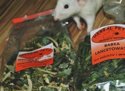 Żywienie szczurów | Co może zjeść szczur domowy oprócz suchej karmy?