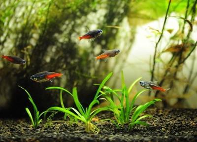 Rybki neonki w prywatnej hodowli - aklimatyzacja 30 rybek