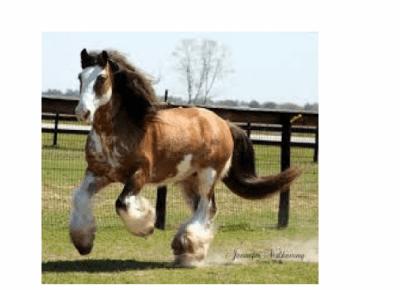 Największy koń  świata