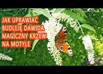 JAK UPRAWIAĆ BUDLEJĘ DAWIDA - magiczny krzew na motyle. Sprawdź!