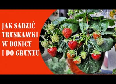 Sadzenie truskawek w donicy i do gruntu aby obficie owocowały