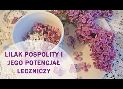 Lilak pospolity /bez/ jako roślina lecznicza