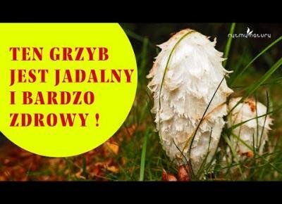TEN GRZYB JEST JADALNY! Bardzo smaczny, o cudownych walorach leczniczych i rośnie w Polsce!