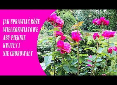 JAK UPRAWIAĆ RÓŻE WIELKOKWIATOWE w ogrodzie aby pięknie kwitły i nie chorowały