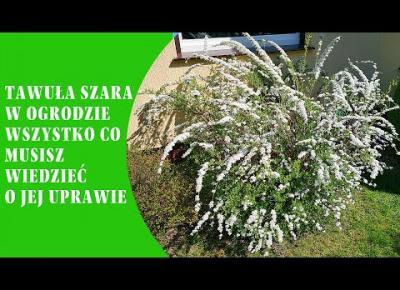 Tawuła szara Grefsheim /norweska/ w ogrodzie - wszystko co musisz wiedzieć o jej uprawie