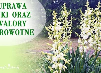 Juka ogrodowa /karolińska/ - uprawa i walory zdrowotne