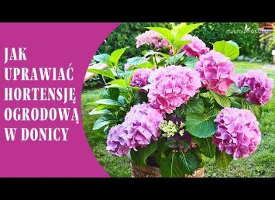 JAK UPRAWIAĆ HORTENSJĘ W DONICY aby obficie kwitła i wytwarzała ogromne kwiaty