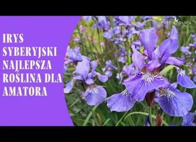 IRYS SYBERYJSKI /KOSACIEC SYBERYJSKI/ to łatwa w uprawie roślina, najlepsza dla amatora!