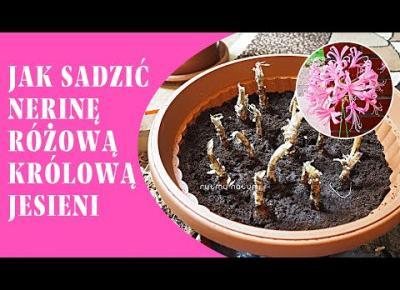 Jak sadzić nerinę bowdenii, różową królową jesieni