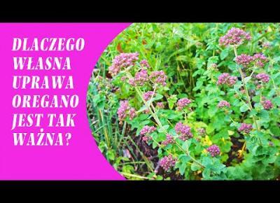 OREGANO - uprawa w ogrodzie.  Dlaczego tylko własna lebiodka pospolita jest najlepsza