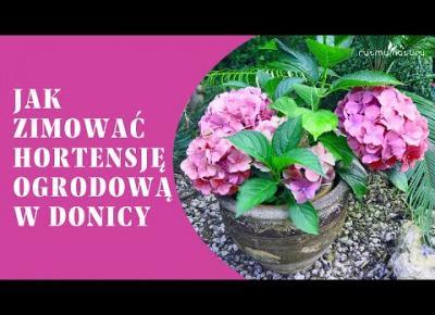 Hortensja ogrodowa w donicy - jak zimować