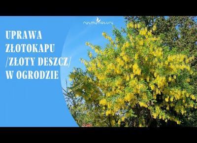 Złotokap /złoty deszcz/ - wszystko co musisz wiedzieć aby uprawiać go w ogrodzie!