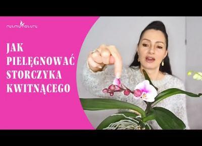 Jak pielęgnować storczyki phalaenopsisy, które zakwitają