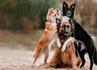 Najładniejsze rasy psów