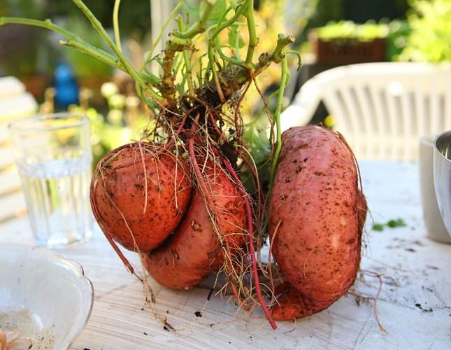 Chcesz wyleczyć wrzody żołądka czy cukrzycę? Jedz słodkie ziemniaki! - Rytmy Natury
