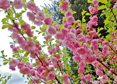 Migdałek trójklapowy to wybredny krzew różowy - Rytmy Natury