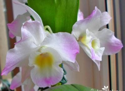 Uprawa storczyka dendrobium nobile oraz pobudzanie go do kwitnienia