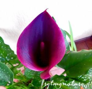 Kalla - wszystko co musisz wiedzieć aby Cię kochała i kwiatami sypała - Rytmy Natury