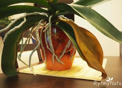 Dlaczego żółkną liście storczyka? /video/ -
