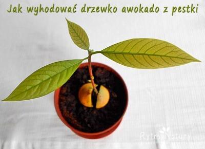 Czy wiesz jak zasadzić awokado z pestki aby wyrosło takie drzewko? - Rytmy Natury