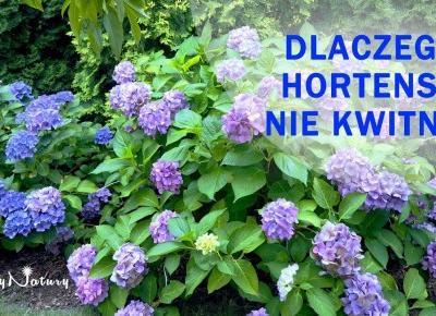 Dlaczego hortensja nie kwitnie?