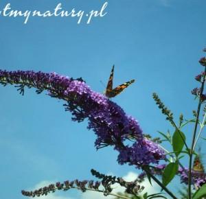 Ta piękna roślina tak zwabia motyle, że trudno uwierzyć - Rytmy Natury