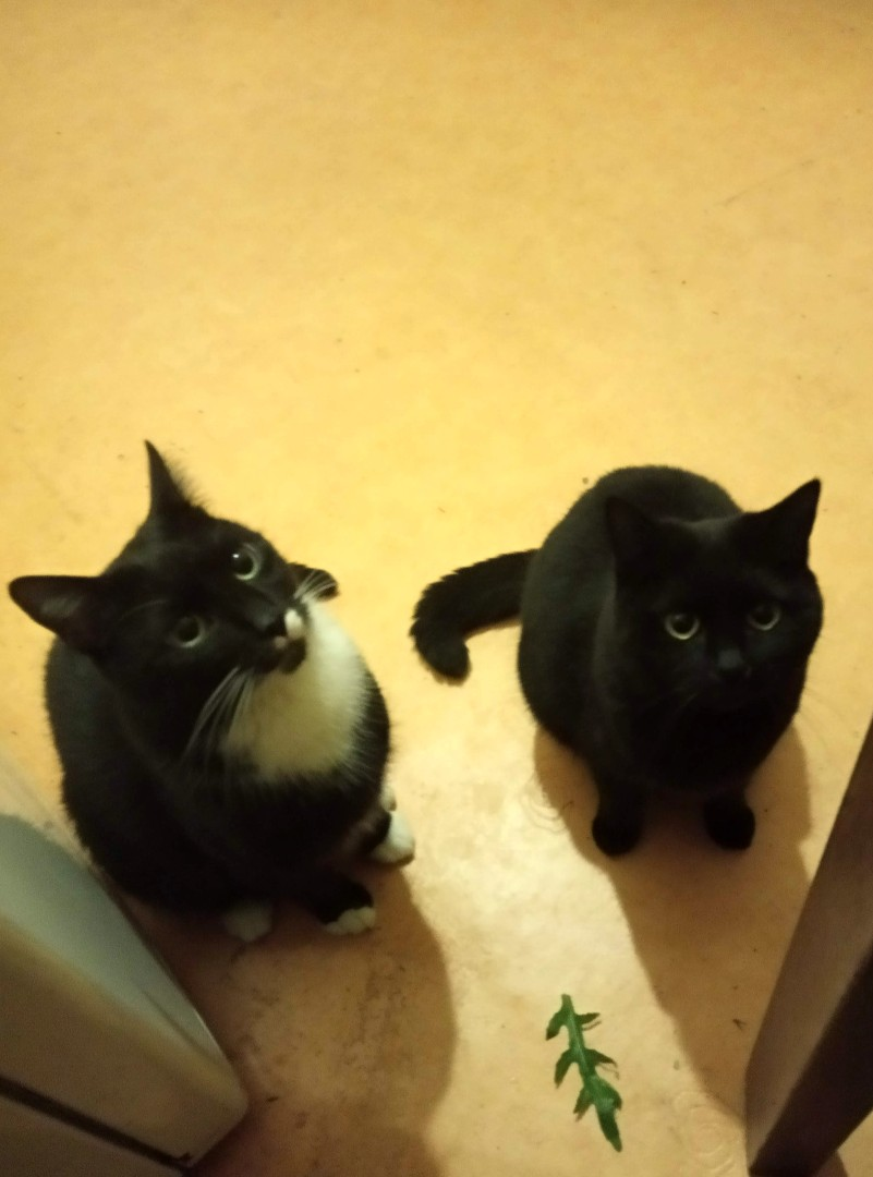 Dwa koty w domu - dają radę? Przekonajcie się! (wideo)