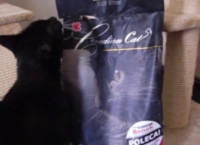 Canadian Cat – żwirek bentonitowy dla wymagających. Nasz test! - KOCIA KOŁYSKA - Wszystko o kotach