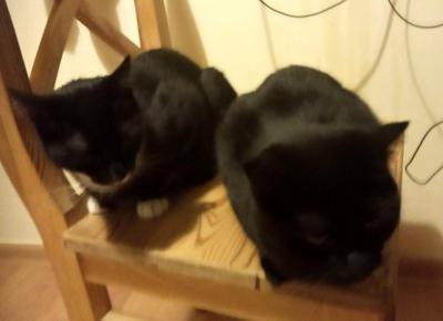 Jak sprawić, by dwa koty się polubiły - głosy w odwiecznej dyskusji - KOCIA KOŁYSKA - Wszystko o kotach