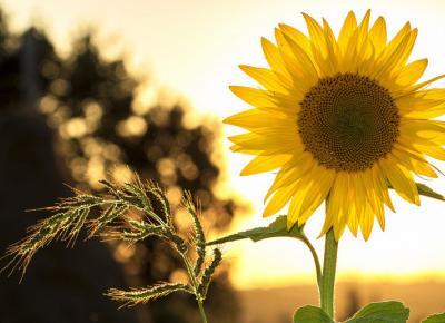 Nasiona słonecznika- samo zdrowie