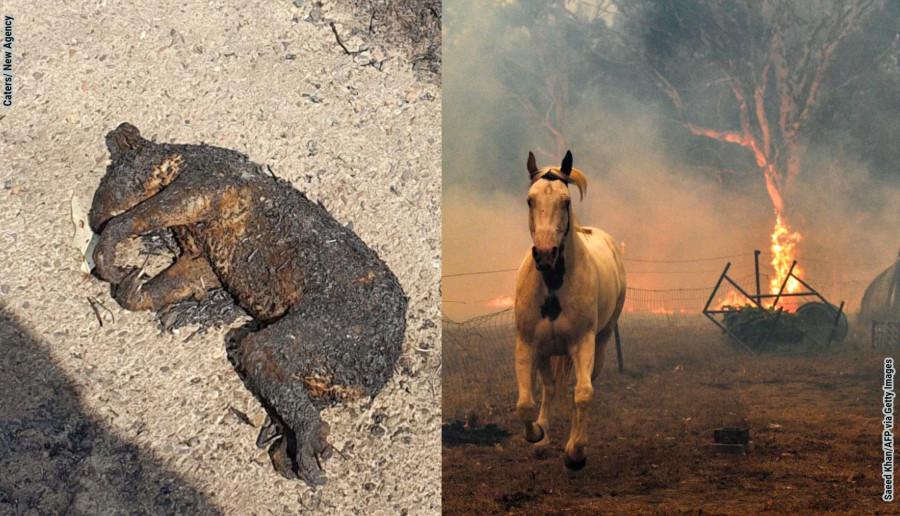 Pożary w Australii przypominają Apokalipsę. Zginęło już pół miliarda zwierząt