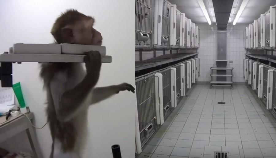 Małpy krzyczące z bólu, bolesne zastrzyki i zatrucia. Tak wygląda rzeczywistość w niemieckich laboratoriach
