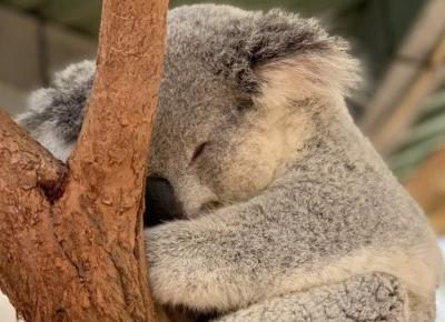 """Misie koala zostały uznane za """"funkcjonalnie wymarłe""""😢😭 Jest jeszcze szansa na ich uratowanie"""