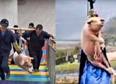 """Makabryczna """"atrakcja"""": Chińczycy zrzucają żywą świnię do skoku na bungee"""