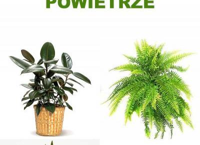 Rośliny Doniczkowe Oczyszczające Powietrze z Toksyn