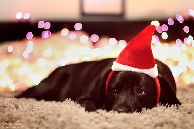 Iza Urbaniak Photography: Dogs | Figa #2