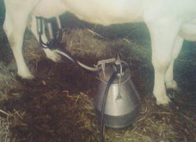 Dojenie krów: kiedyś i dziś.