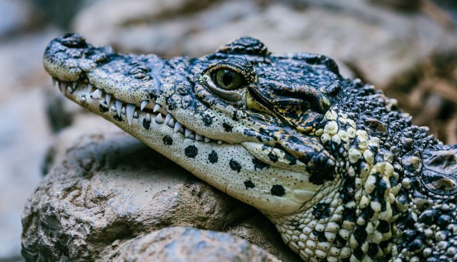 Poszedł na ryby i... zjadł go krokodyl. Tak się kończy łamanie kwarantanny?